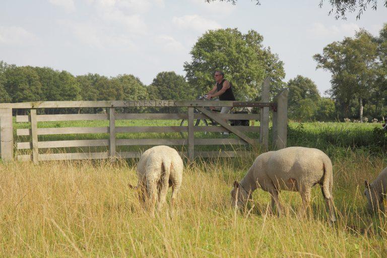 schapen bij de Dakhorst